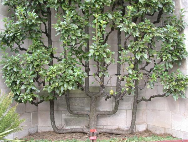 Шпалерные изгороди: стланцево-кустовидная гребневидная форма