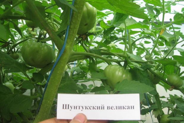 Сорт томата: Шунтукский великан