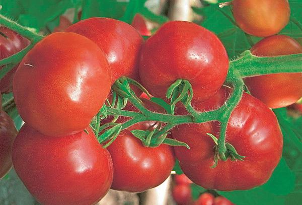 Сорт томата: Шустрик   f1