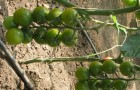 Сорт томата: Самоцвет f1