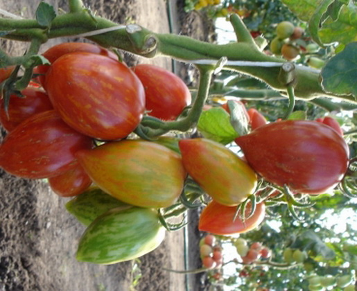 Сорт томата: Самоцвет лучистый   f1