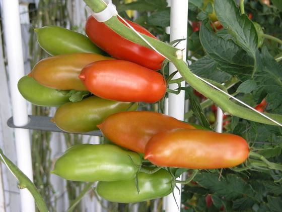 Сорт томата: Сана   f1