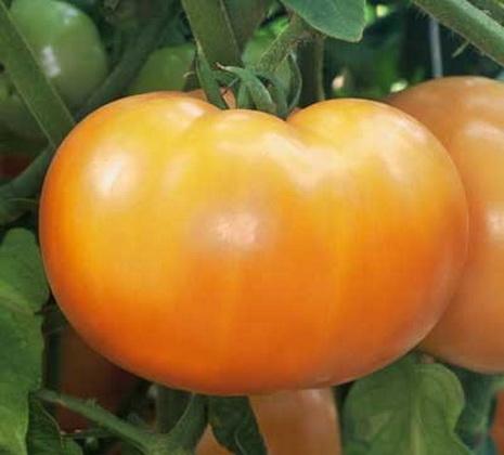 Сорт томата: Саргас   f1