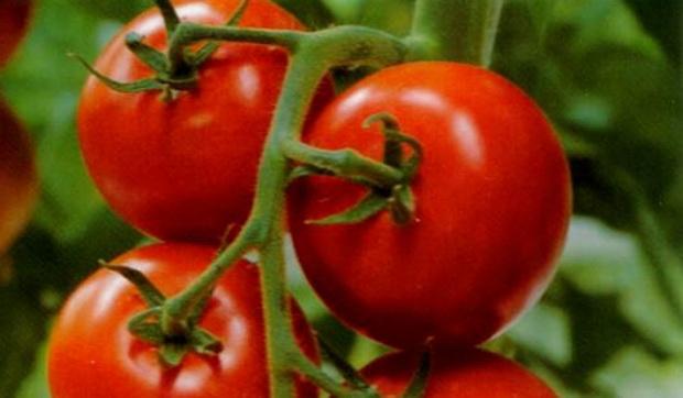 Сорт томата: Саргон   f1