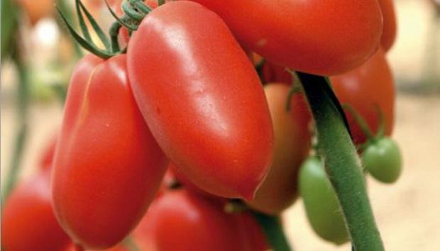 Сорт томата: Семко 2003   f1