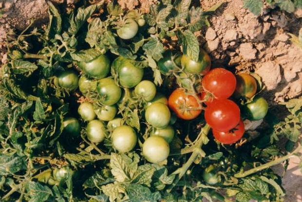 Сорт томата: Северянка