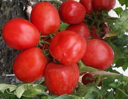 Сорт томата: Сибирские огни