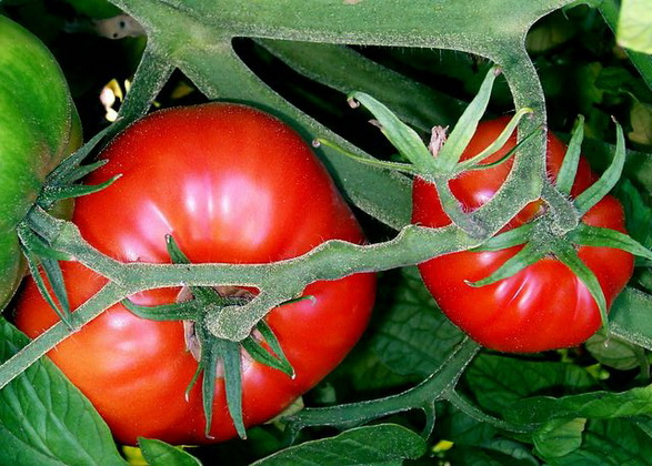 Сорт томата: Сибирский экспресс