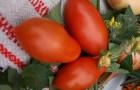 Сорт томата: Сибирский пируэт