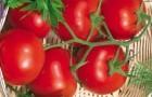 Сорт томата: Сибирский скороспелый