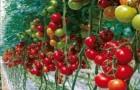 Сорт томата: Синдел f1
