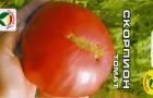 Сорт томата: Скорпион