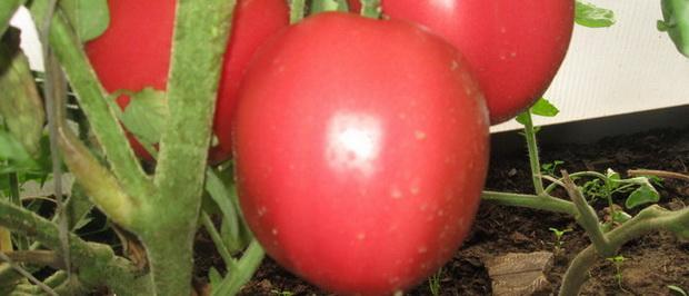 Сорт томата: Снежная сказка
