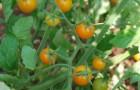 Сорт томата: Солнцедар
