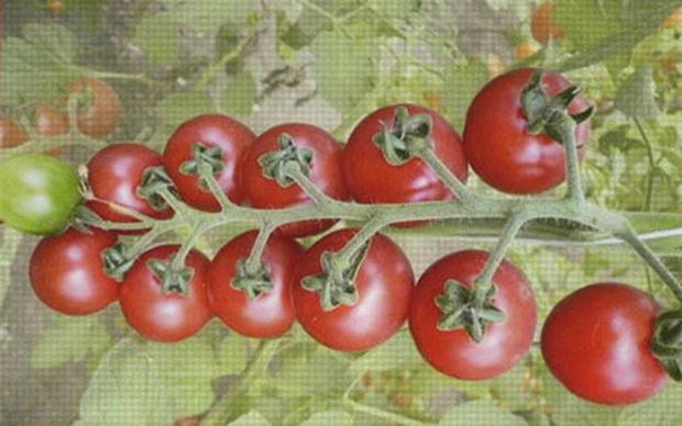 Сорт томата: Соловушка   f1