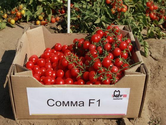 Сорт томата: Сомма   f1