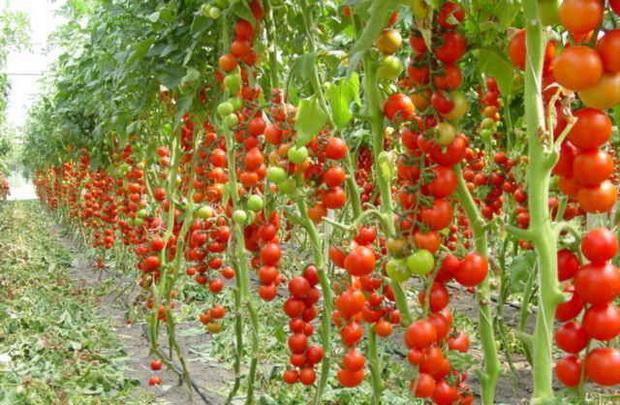 Сорт томата: Советский