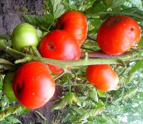 Сорт томата: Спринт 2
