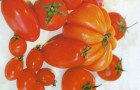 Сорт томата: Страус f1