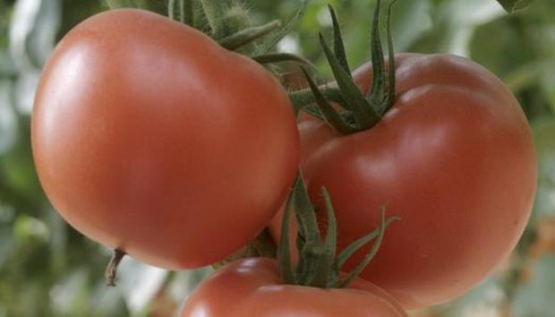 Сорт томата: Стрега   f1