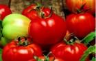Сорт томата: Султан f1