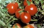 Сорт томата: Светлана f1