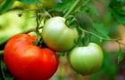 Сорт томата: Святозар f1