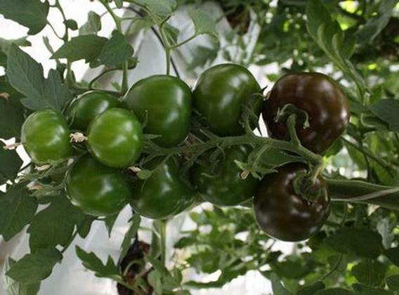 Сорт томата: Т 34   f1