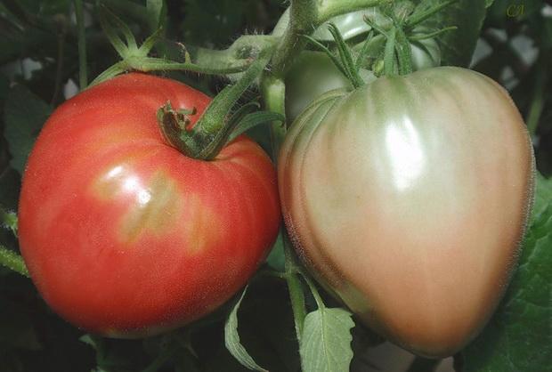 Сорт томата: Царь колокол