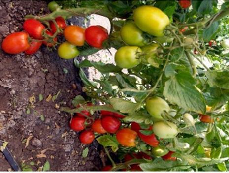 Сорт томата: Царь петр