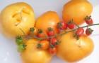 Сорт томата: Цыпа f1