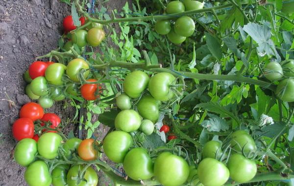 Сорт томата: Таня   f1