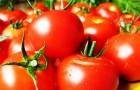 Сорт томата: Татьяна