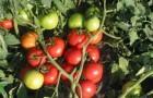 Сорт томата: Таунсвилль f1