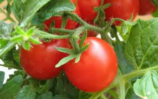 Сорт томата: Техас   f1