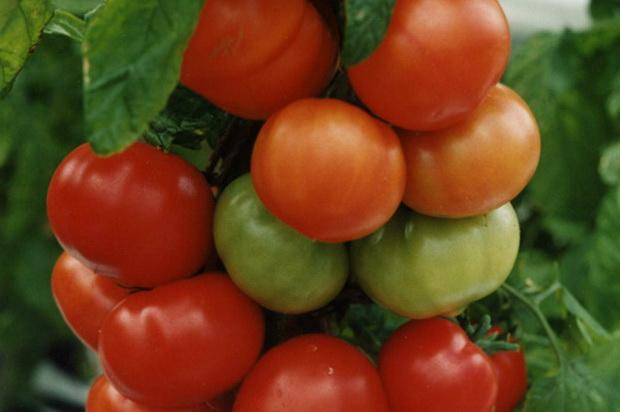 Сорт томата: Титаник   f1