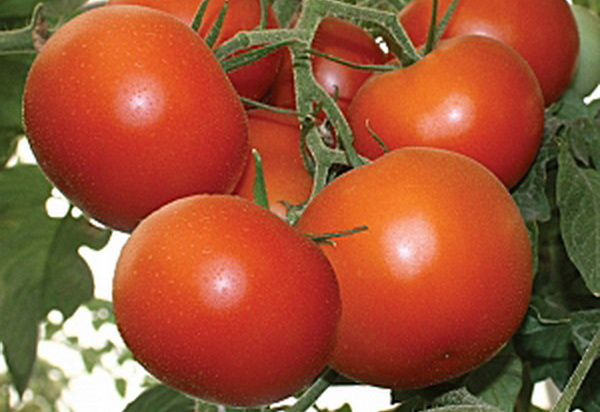 Сорт томата: Толстый сосед   f1