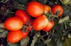 Сорт томата: Томимару мучо f1