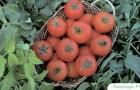 Сорт томата: Топспорт f1