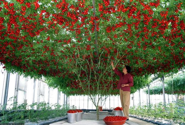 Сорт томата: Топтыжка