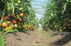 Сорт томата: Торбей f1