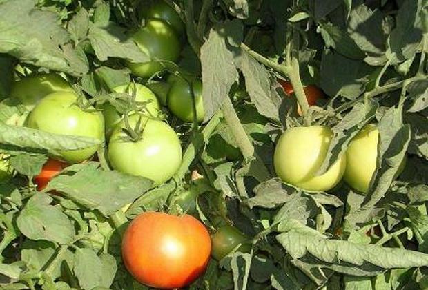Сорт томата: Трибека   f1