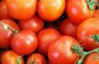 Сорт томата: Турино f1