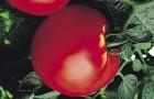Сорт томата: Турист f1