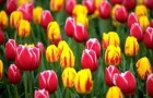 Тюльпаны (Видео)