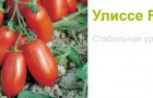 Сорт томата: Улиссе f1