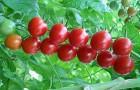 Сорт томата: Умелец