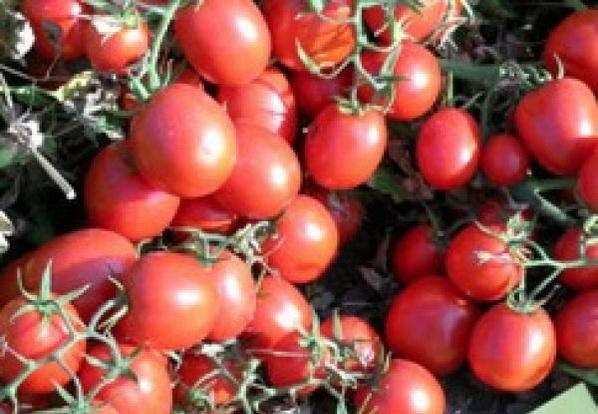 Сорт томата: Уно