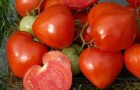 Сорт томата: Утренняя роса