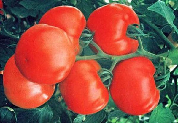 Сорт томата: Увалень
